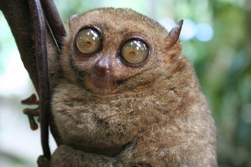 Tarseros  Tarsier is a pygmy tarsier or a primate thought extinct in the forests of Indonesia. He had not seen a copy since 1920. It's tiny, barely weighs 57 grams.