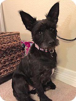 10 14 16 Dallas Tx Cairn Terrier Mix Meet Jubilee A Dog For