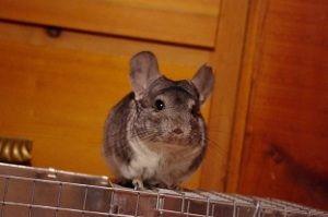 Adopt Grayfriars On Petfinder Chinchilla Pets Adoption