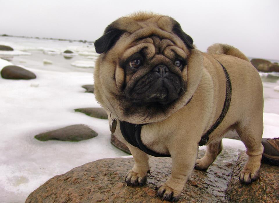 Pug Walks To The Frozen Sea Pugspugspugspugspugspugspugs Pugs