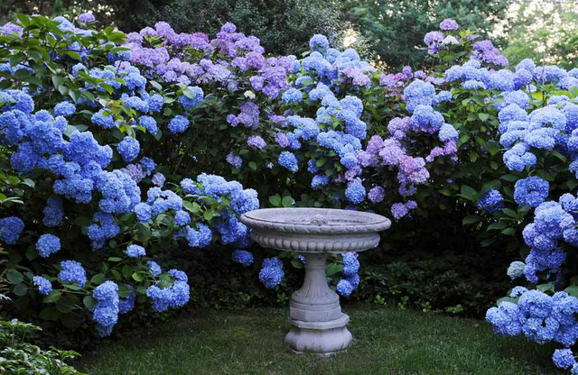1000 images about Hydrangeas on Pinterest Gardens Blue