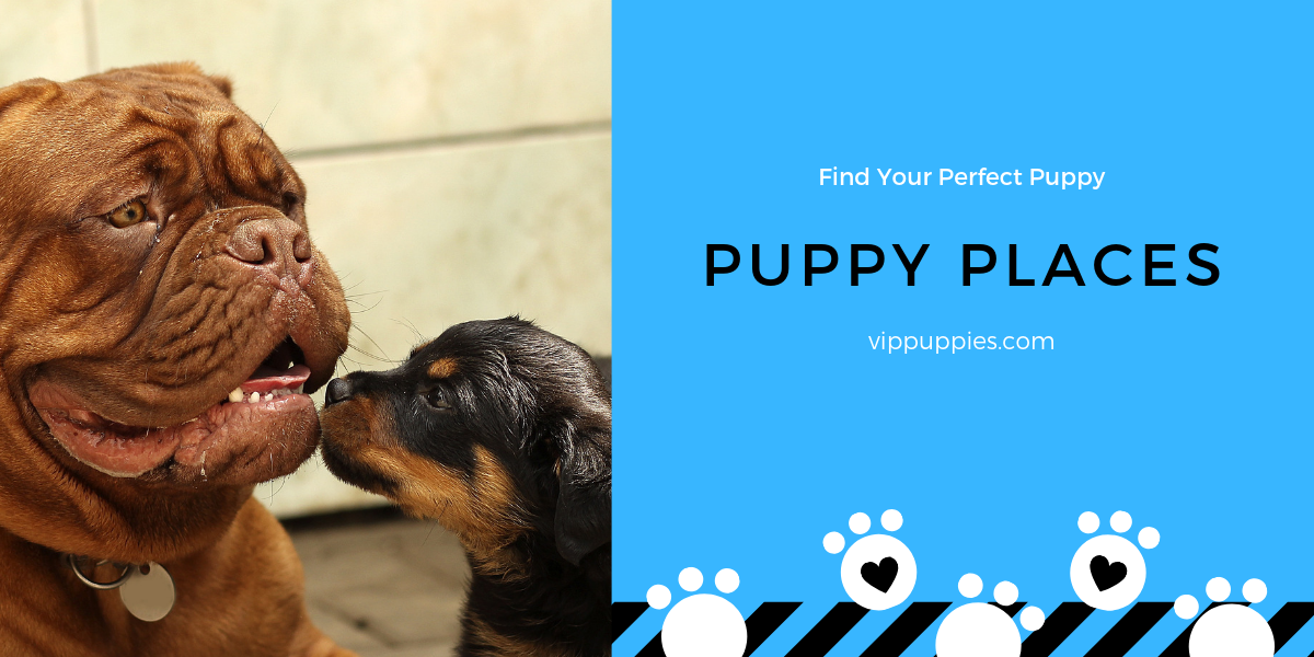 Puppy Stores Places Puppies On Sale Near Me Puppy Store Puppy Finder Puppies