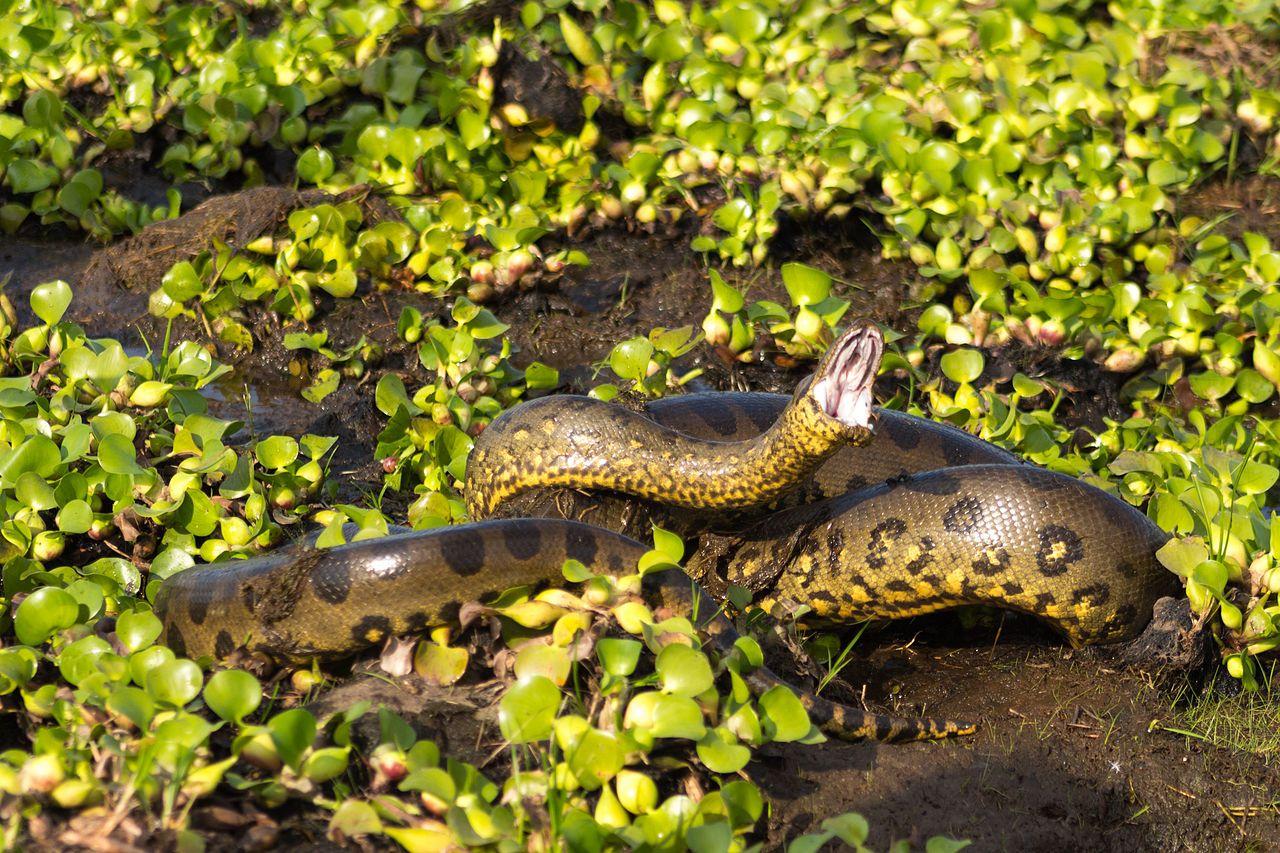 Anaconda (Eunectes murinus) Green anaconda Wikipedia