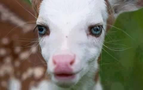 Dragon: o cervo branco de olhos azuis - Uma linda raridade do mundo animal ~ Hoje Descobri...