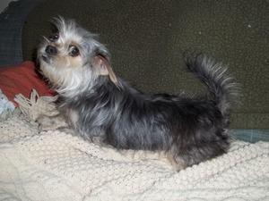 Adopt Gigi On Yorkie Dogs Yorkshire Terrier Pets