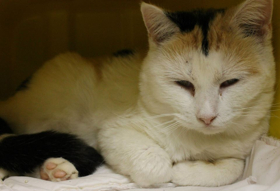Available: 1/4 NAME: Sasha  ANIMAL ID: 24665876 BREED: DSH  SEX: Spayed Female  EST. AGE: 8 yrs Est Weight: 7.8 lbs Health:  Temperament: friendly ADDITIONAL INFO:  RESCUE PULL FEE: $39