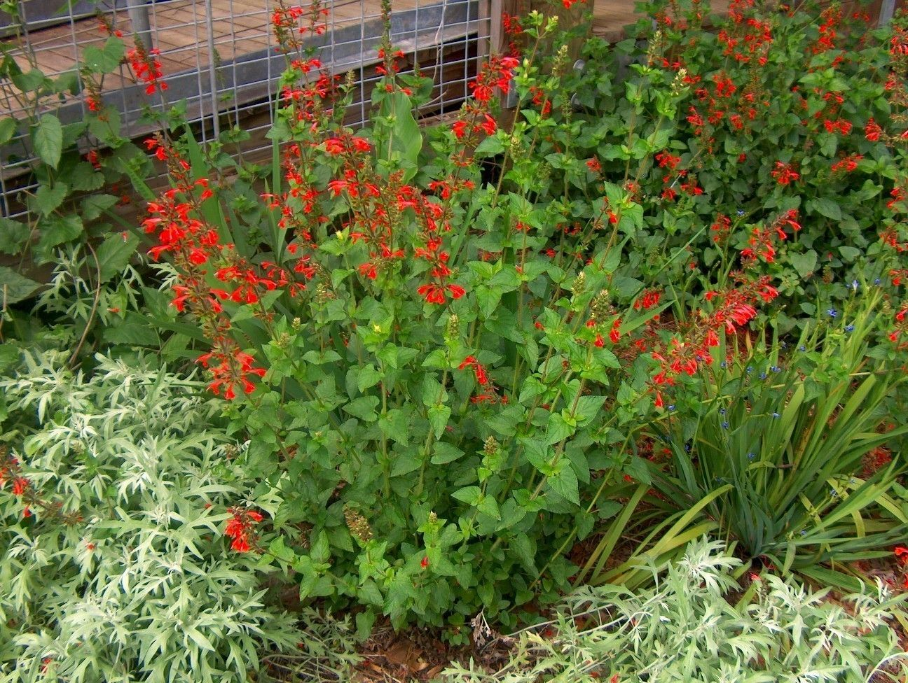 red texas plants | Online Plant Guide - Salvia coccinea