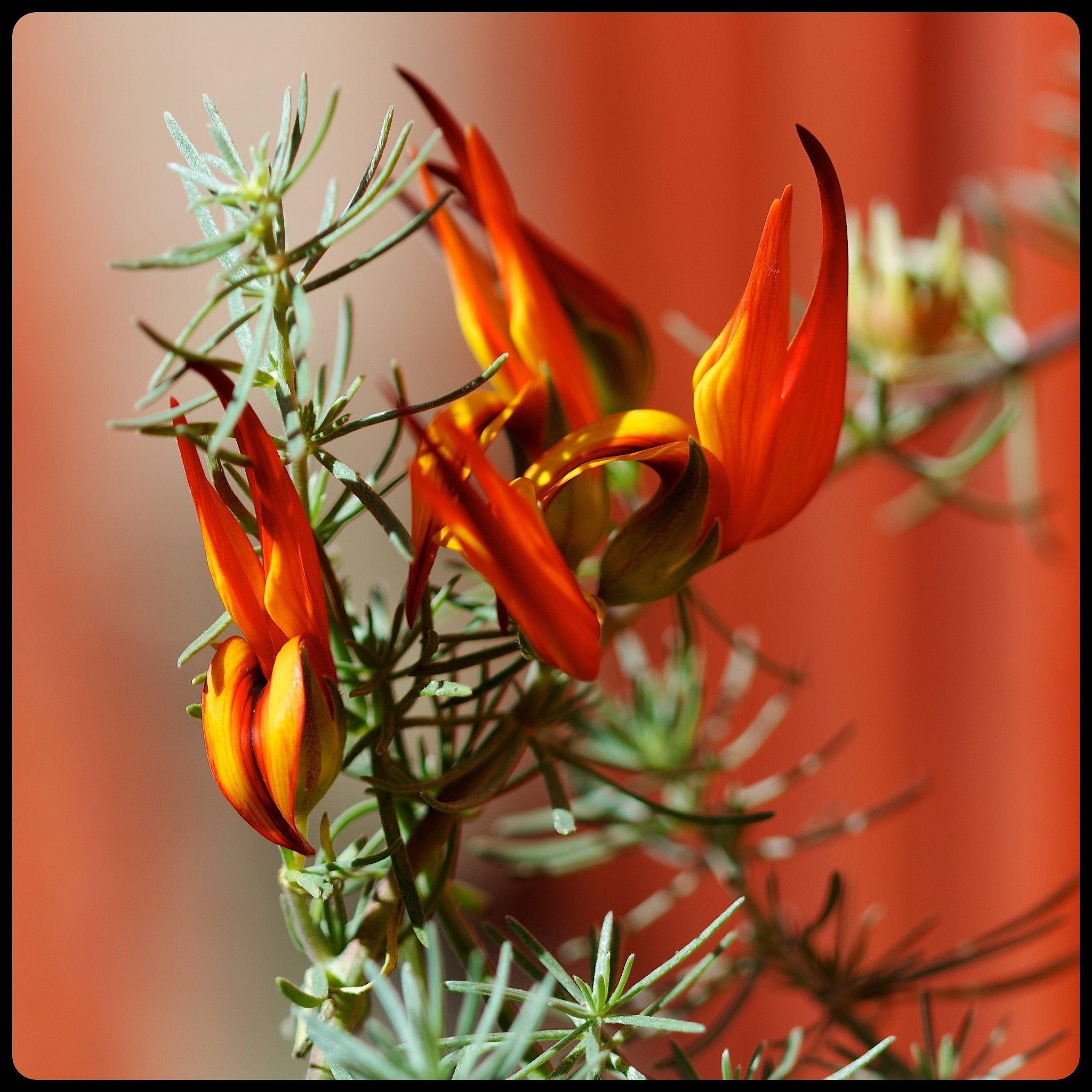 Free P/&p! Exotic Trailing Plant 3 X Lotus FIRE VINE plug plants Parrots Beak