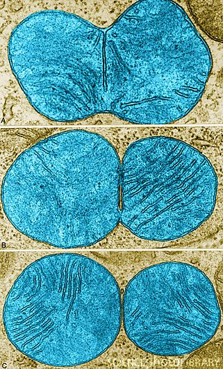 Stages of Mitochondrial Division, TEM | Science photos, Science ...