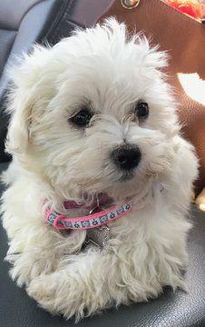 Havanese puppy for sale in VENTURA, CA  ADN-34718 on