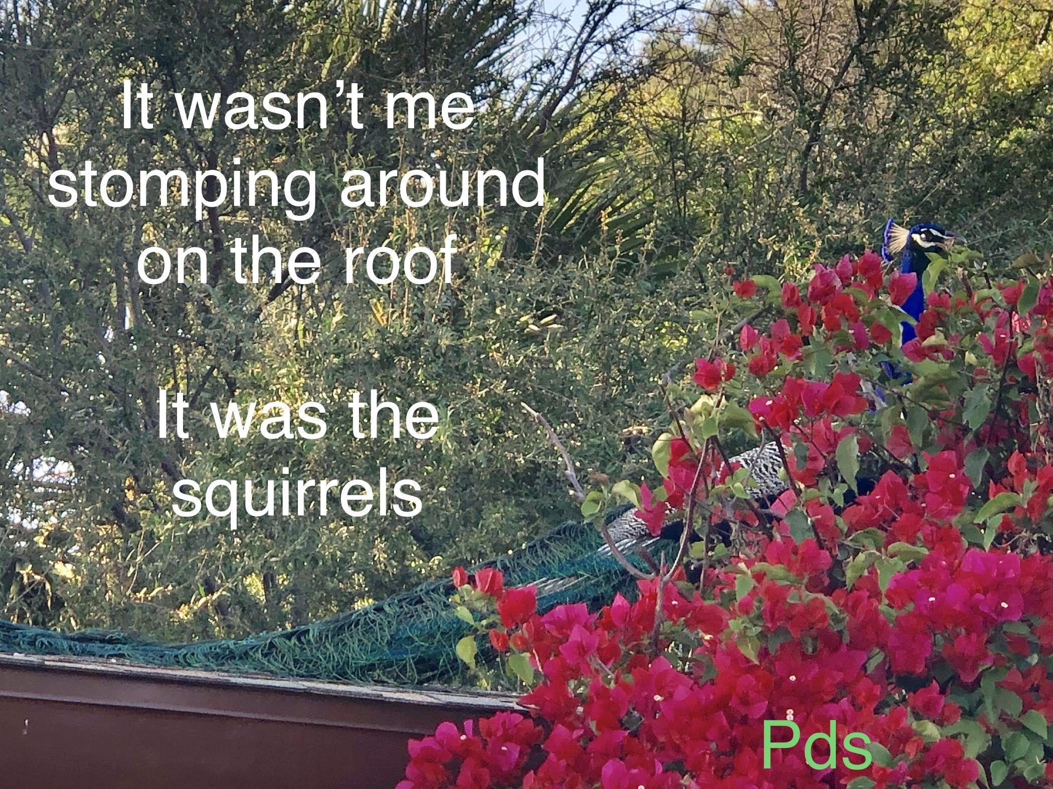 Wild peacock up to no good | Bird meme, Animal memes, Wild