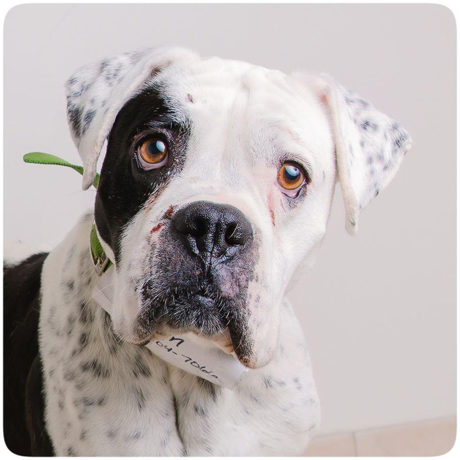 American Bulldog dog for Adoption in Eden Prairie, MN. ADN