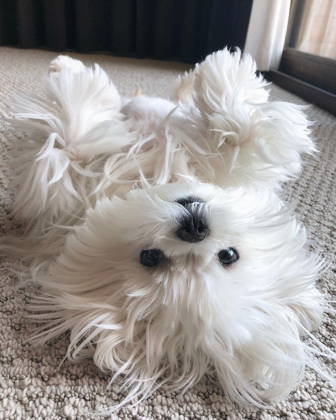 Cute Maltese Dogs On Instagram Maltese Maltese Dogs