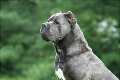 Males Page For Fyreland Cane Corso Breeder Columbus Ohio Cane Corso Cane Corso Dog Corso Dog