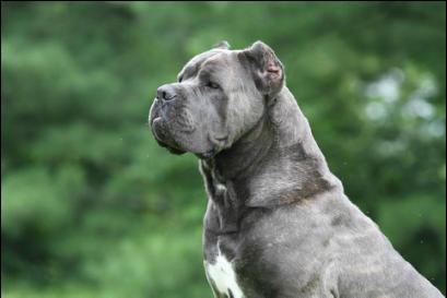 Picture With Images Cane Corso Corso Dog Cane Corso Dog