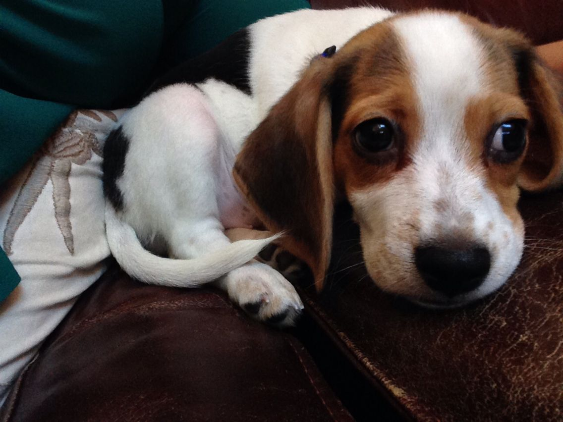 Sampson Baby Beagle Cute Animals Cute Puppies