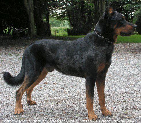 Photo de chiens berger de beauce beauceron bas rouge for Fourniture de beauce