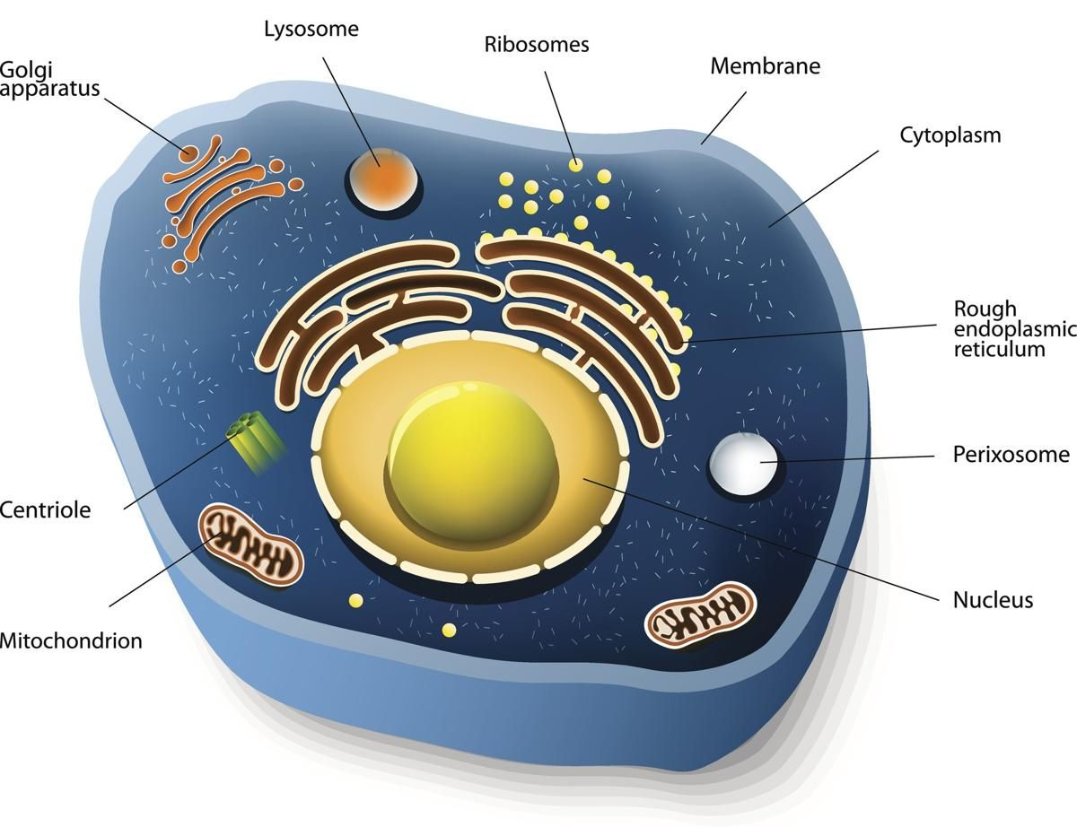 Information About Animal Cells
