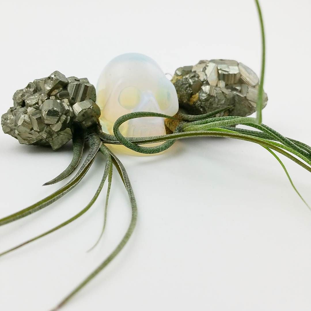 Argh! There's treasure to be found! Check out our #giveaway contest two posts back and win a globe!  #opaliteskull #pyrite #butzii #plantilly #airplants #tillandsias