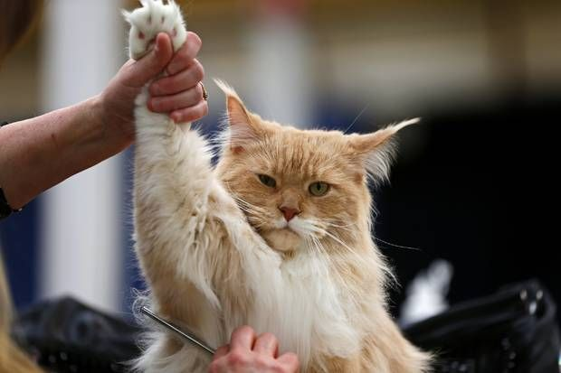Mishikoonz To Kill A Mockingbird A Maine Coon Cat Is Groomed During The Oklahoma City Cat Club Cat Show In Oklahoma City Saturday Ap Cats Cat City Cat Club