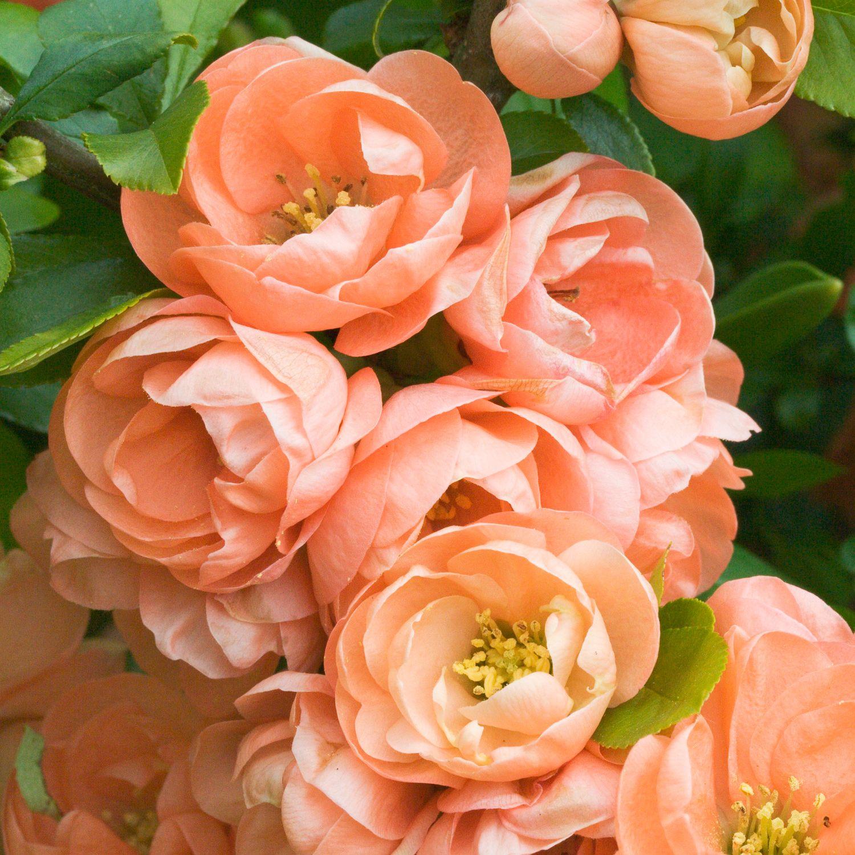 Chaenomeles Speciosa Geisha Girl Japanese Quince Flowering Quince Dobbies Garden Centres Flowering Quince Chaenomeles Planting Flowers