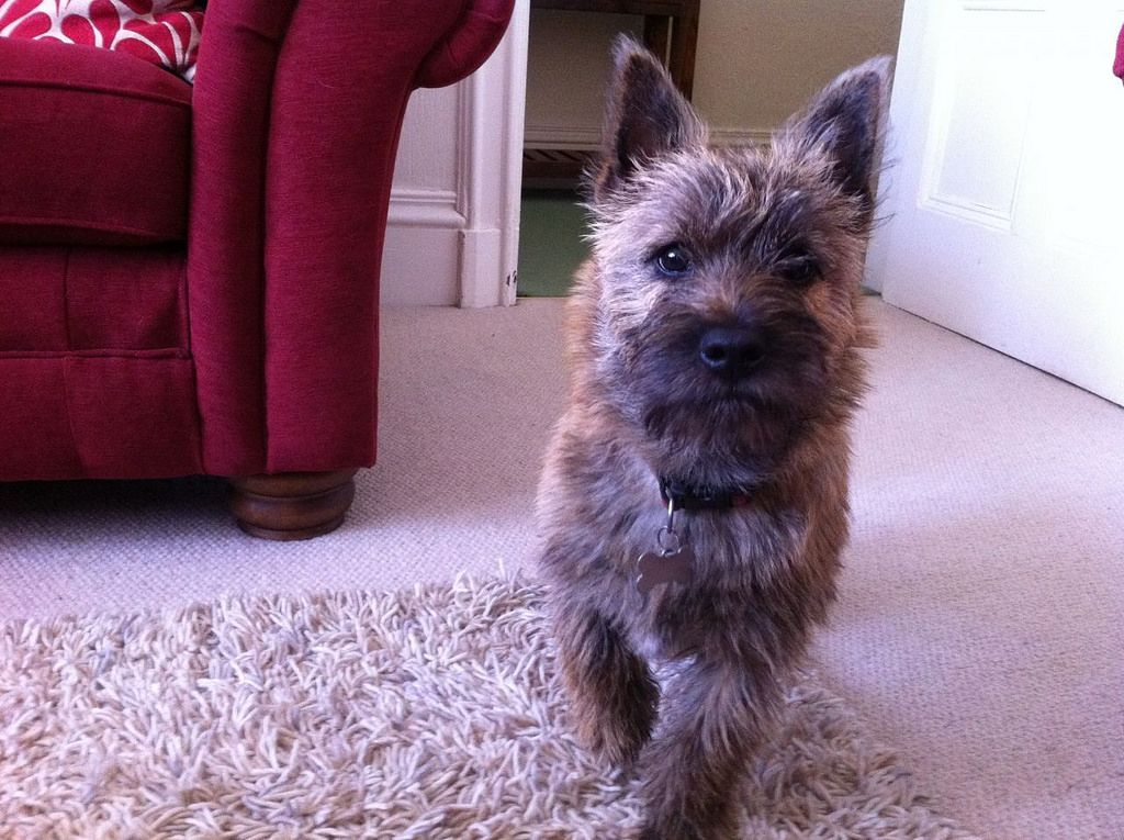 6 Month Old Pedigree Cairn Terrier Neutered Male 518fb83870f73
