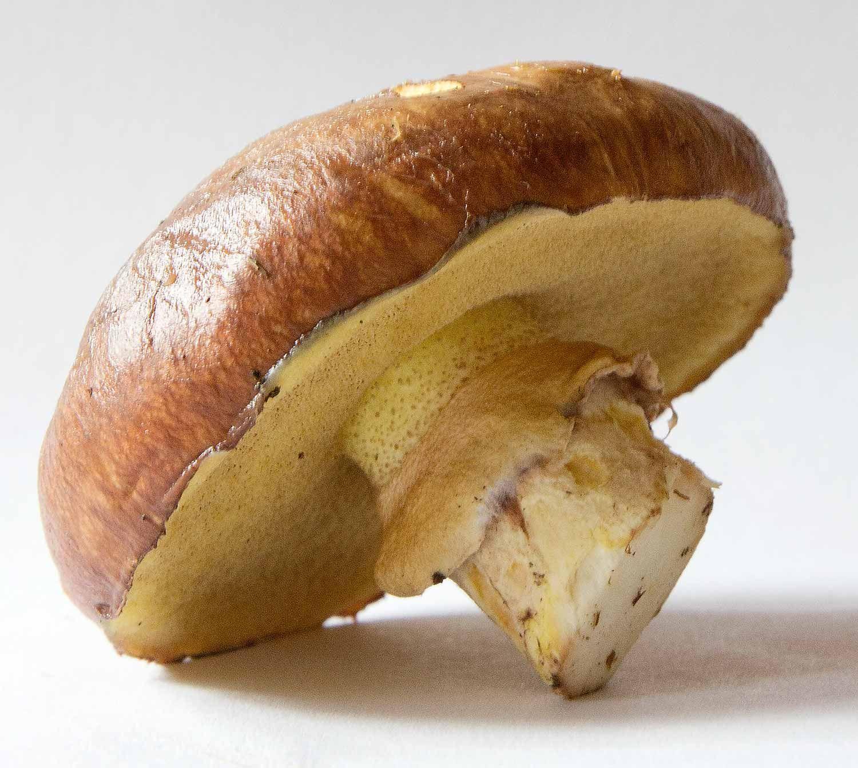 Zauche Dieser Sommer 2014 Ist Anders Pfifferlinge Gibt Es Wenn Es Nicht Zu Trocken Ist Meist Schon Ab Juni Auch Steinpi Essbare Pilze Pilze Pilze Anbauen