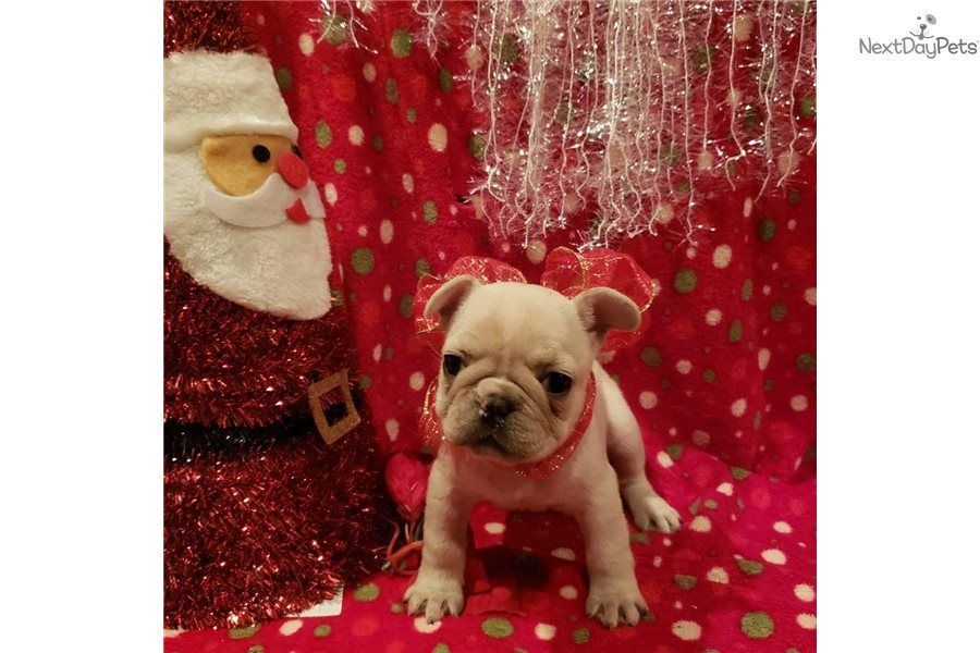 Carmela French Bulldog Puppy For Sale Near Houston Texas