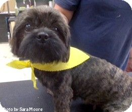 Oak Ridge Tn Shih Tzu Meet Ellie Mae A Dog For Adoption Http