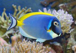 Powder Blue Tang Tropical Fish Angel Fish Fish Pet