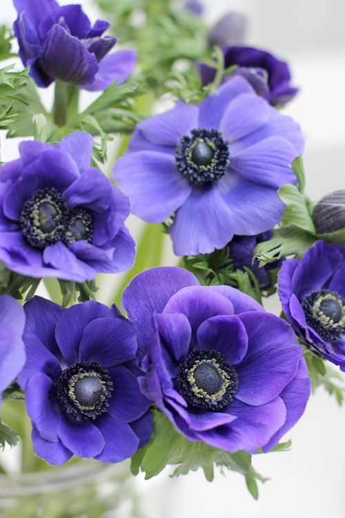 A Bunch For The Weekend 103 Deep Blue Anemones Ingrid Henningsson Of Spring And Summer Anemone Flower Pansies Flowers Anemone