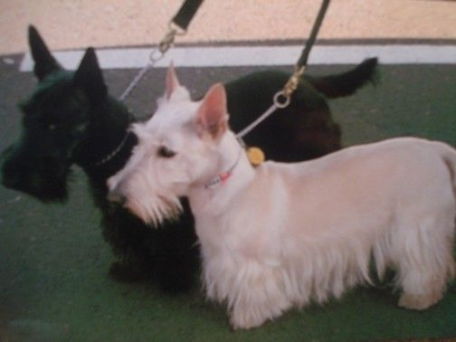 Scottish Terriers For Sale Scottish Terrier Breeder
