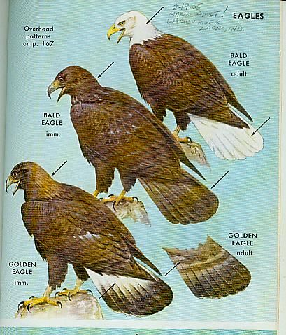 a comparison of the bald eagles and the golden eagles Hawks & eagles admired for their bald eagles are also seen mostly close to water a few pairs nest along wilder rivers in the sonoran desert golden eagles.