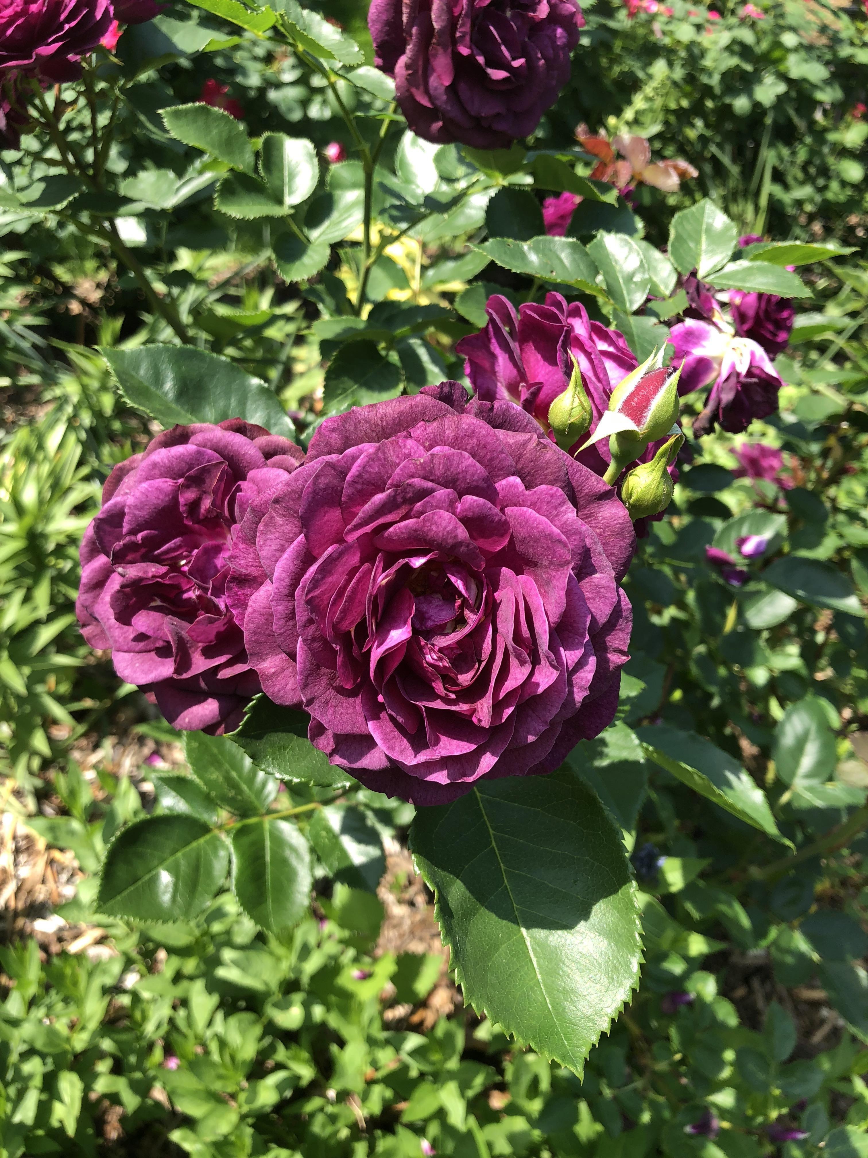 Beautiful dark purple rose gardening garden diy home