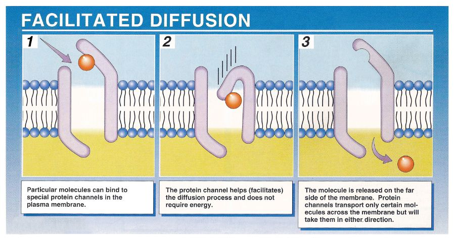 Proteins in the plasma membrane act as gates to allow movement of ...