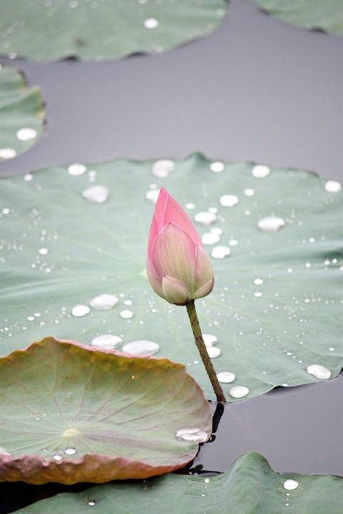 Image Gratuite Sur Pixabay Lotus Fleur Bud Nature Plantes