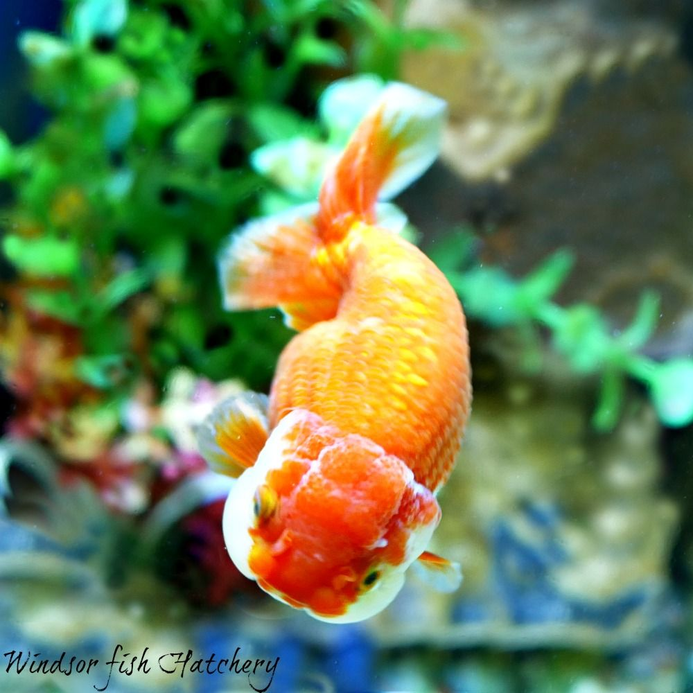 Goldfish Ranchu Red White 9 10cm Buy Goldfish Online From Windsor Fish Hatchery For All The Details Visit The Website Www Windsorfishhatchery Com Au