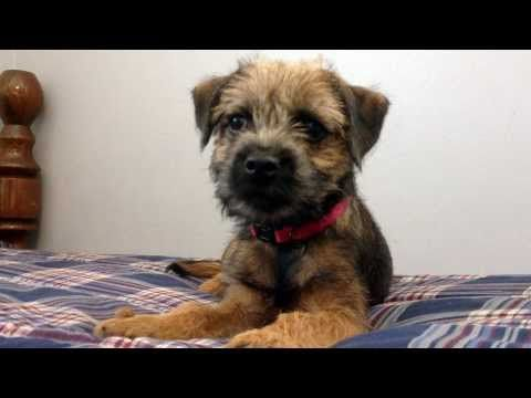 12 Week Old Border Terrier Millie Learns To Leave It Border