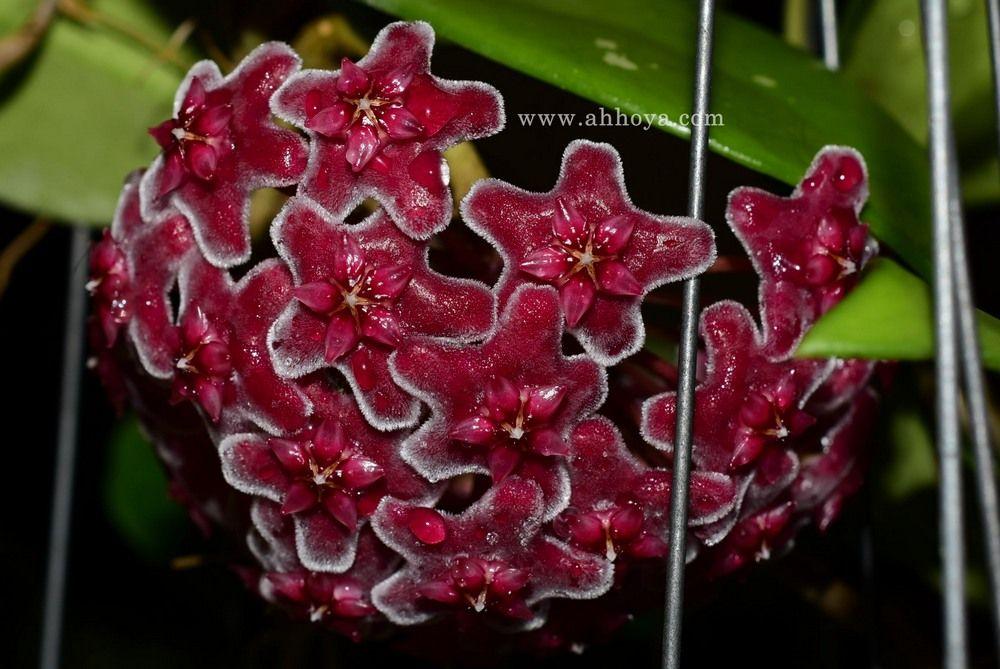 Hoya Plants Nursery Thailand Ah