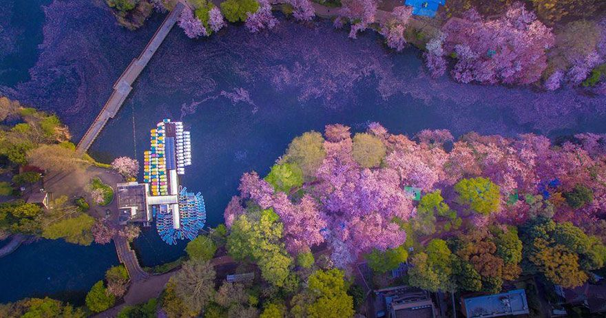 Cherry Blossoms Paint A Lake Purple Making Tokyo Look Like A Fairytale Cherry Blossom Painting Cherry Blossom Petals Japanese Cherry Blossom