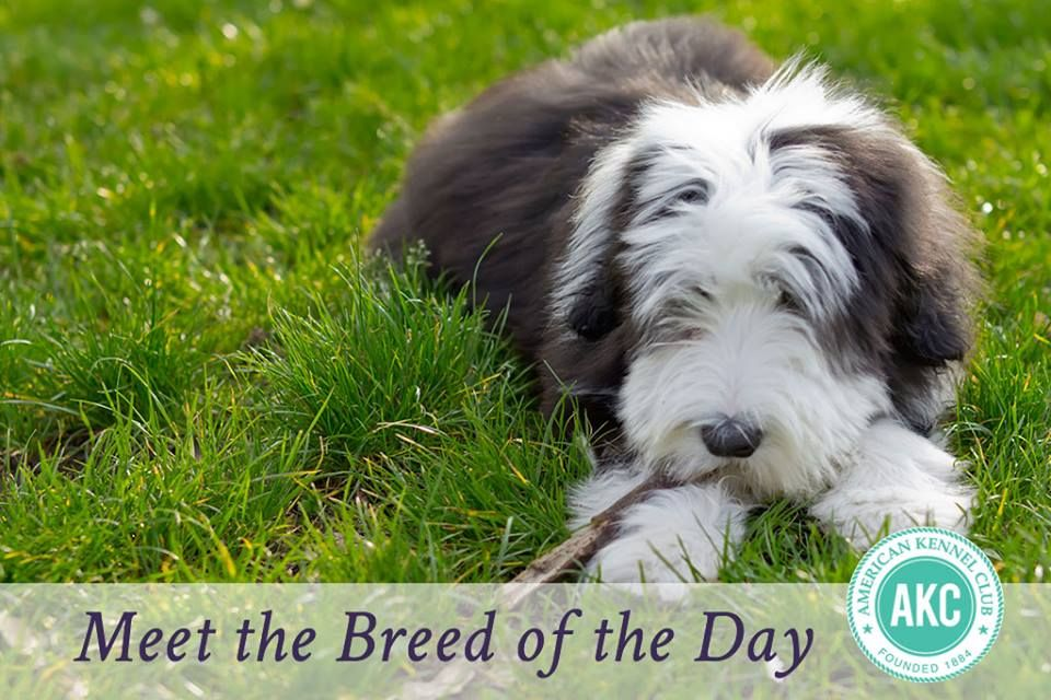 Bearded Collie Dog Breed Information Bearded Collie Dog Breeds