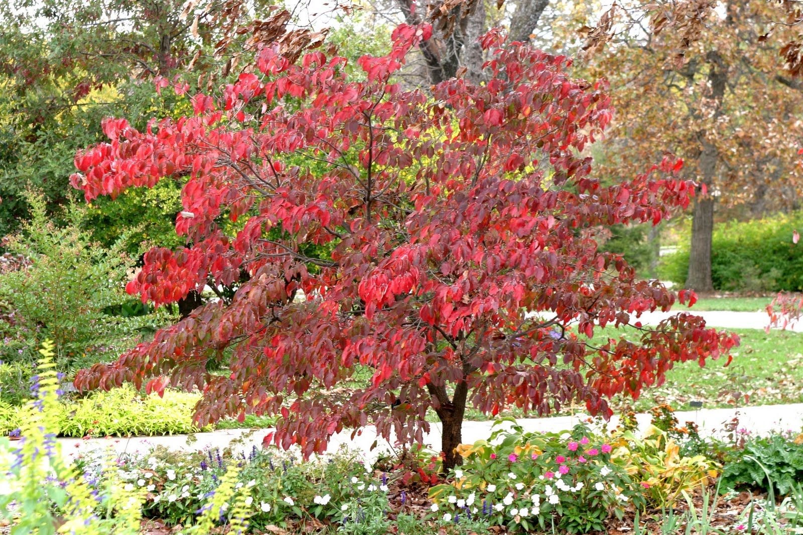 Image result for fall dogwood tree
