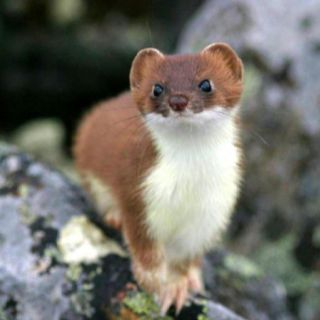 Stoat. Looks like a little red and white ferret ... | 320 x 320 jpeg 13kB