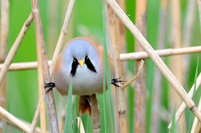 Next Up: The Bird Who Favors the Fu Manchu | The Featured Creature: Showcasing Unique and Unusual Wildlife