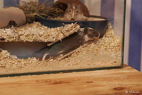 Fotos Bilder Maja Mongolische Wustenrennmause Rennmaus Gerbils Crossing Kafig Terrarium Rennmaus Hamster Lebensraum Hamster Ideen