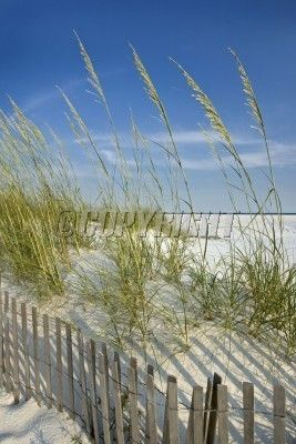 Picture Of Peaceful Secluded Beach Scene Sand Dunes Sea Oats Dune Fence Stock Photo Images And Photography