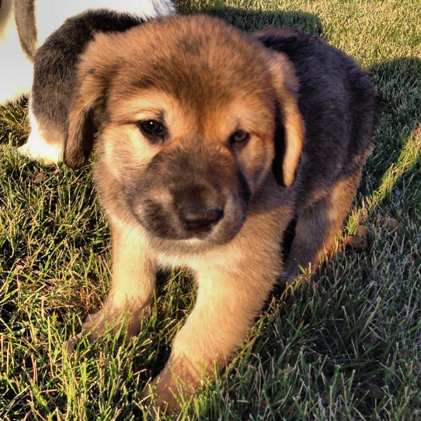 Boxer Puppies For Sale Chesapeake Va 2021