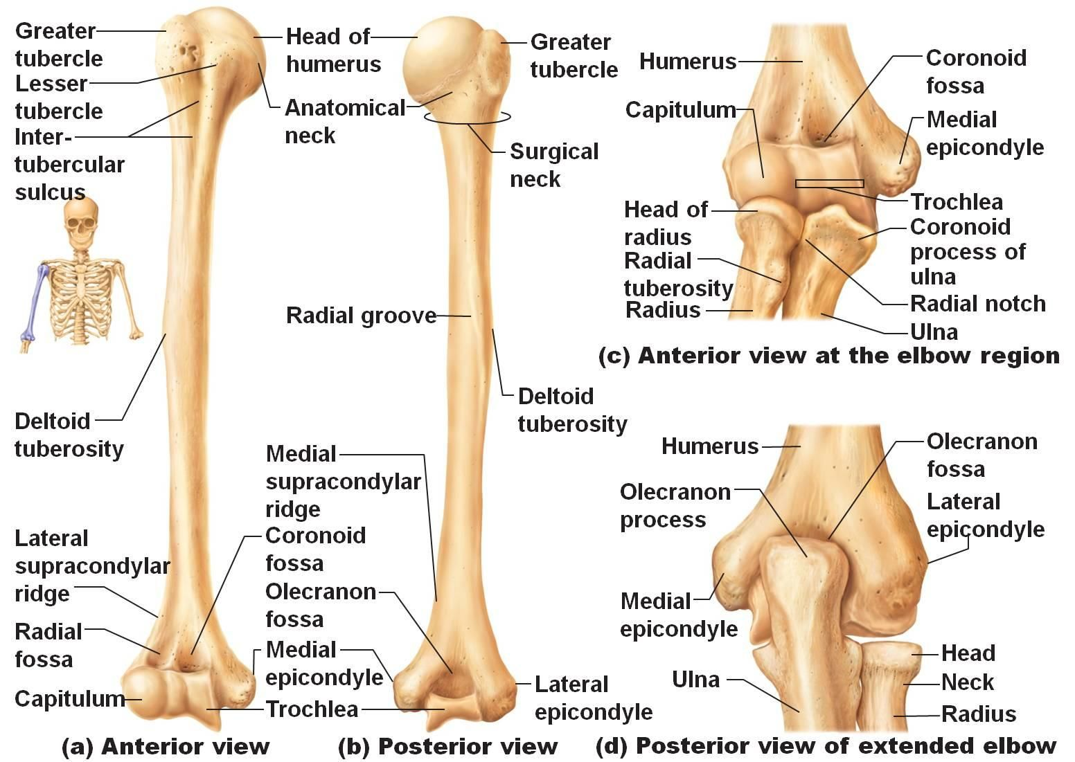 Anatomy And Physiology Bones Of The Body Games