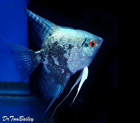 Blue Leopard Angelfish Angel Fish Fish Pet Fish