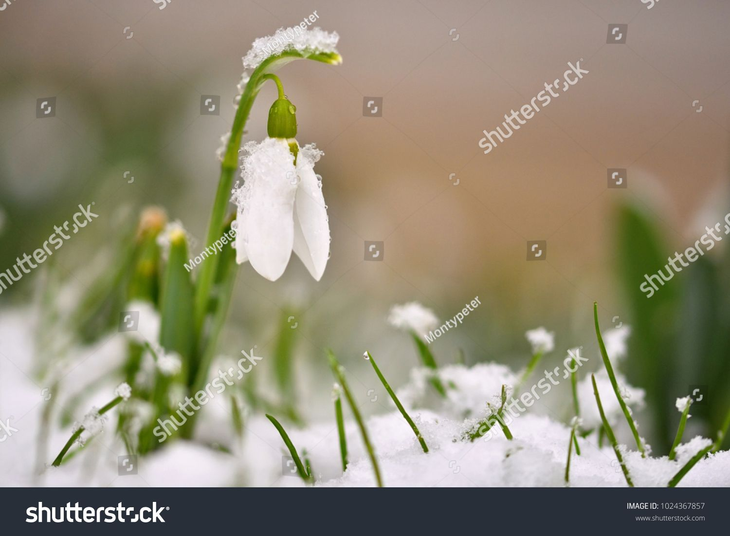 Snowdrops Spring Flowers Beautifully Blooming In The Grass At Sunset Delicate Snowdrop Flower Is One Of The Spring Symbols Ama In 2020 Spring Flowers Flowers Bloom